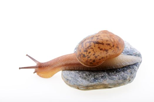 Small brown snail on a stone isolated on a white background