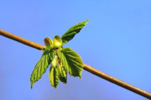 young hazel leaves