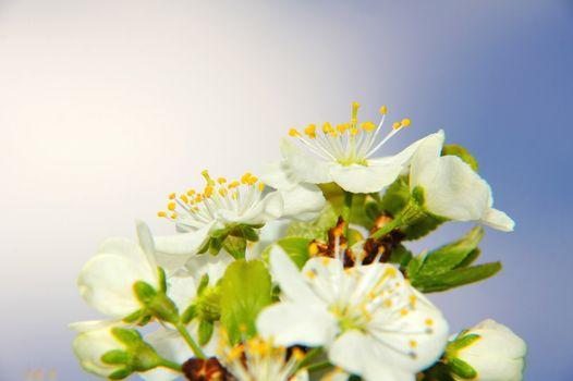 mirabelle plum blossoms