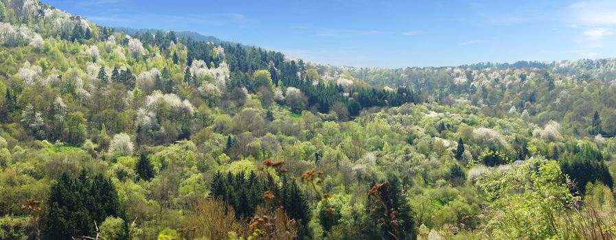 forest panorama in springtime