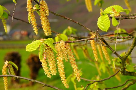 hornbeam blossoms