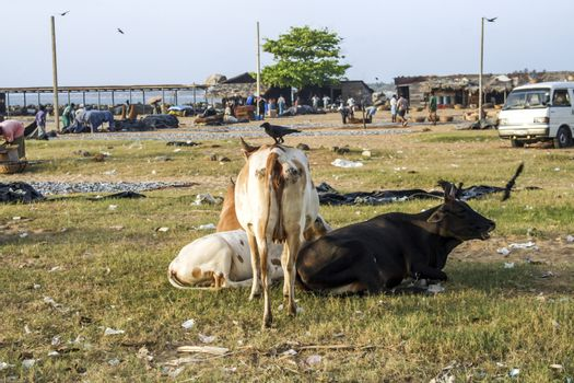 NEGOMBO, SRI LANKA - AUG 20, 20015: cows resting at the beach of Negombo, Sri Lanka. Cows walk around the area without fences. They stay together in herds.