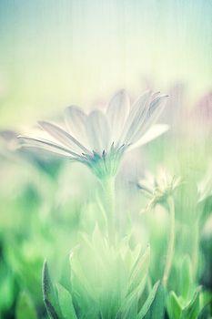 Gentle daisy field