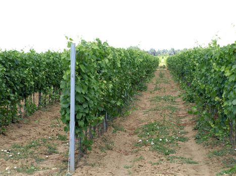 vineyard with beutiful leaves in foreground