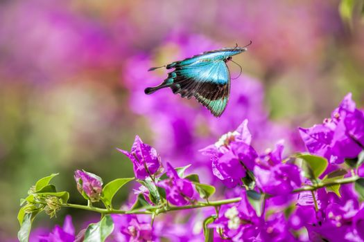 Blue Swallowtail Butterfly flying between pink flowers