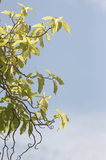 Green leaves on a blue sky background.