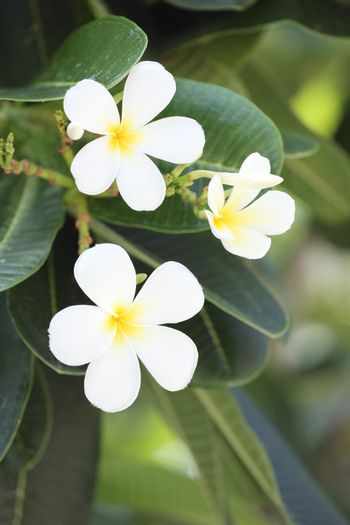 white plumeria or frangipani flower on tree in the garden.