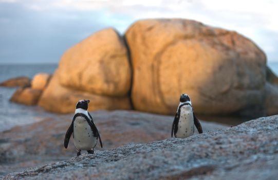 also known as the Jackass Penguin and Black-footed Penguin  also known as the Jackass Penguin and Black-footed Penguin