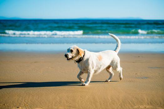 Dog runs on the seashore