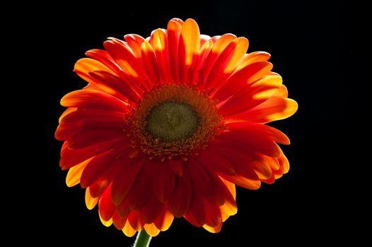 Orange gerbera daisy on black