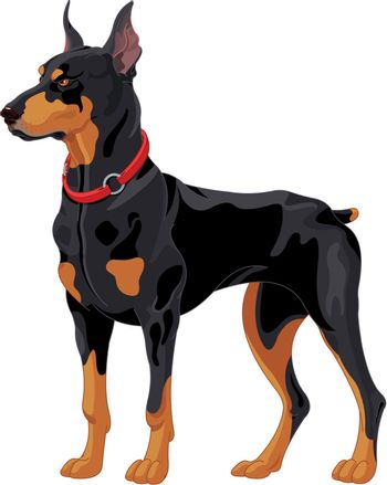 Illustration of fully concentrated guard dog Doberman