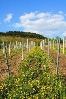 new vineyard with dandelions