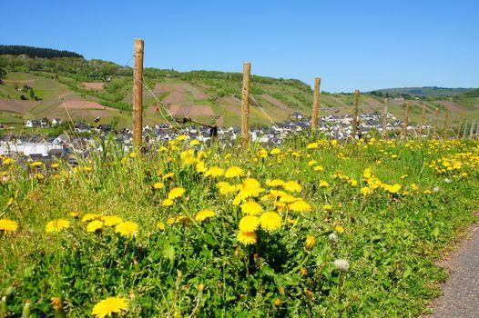 Dandelions near Reil