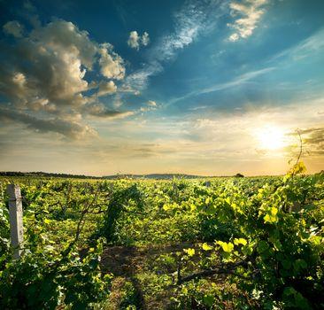 Green grape field