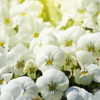 Photo of White Pansy Flower Sunny Background