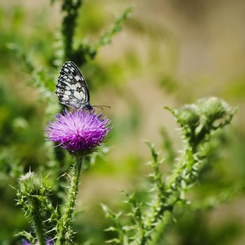 Thistle and Butterfly Over Natural Background