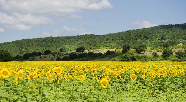 Yellow Sunflower in Summertime Over Natura Bbackground
