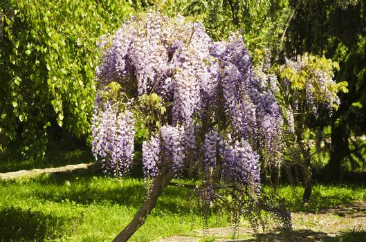 Spring Wistaria Flower Blossom in Nature