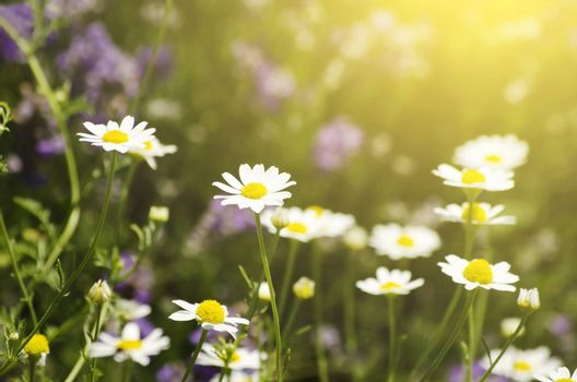 Photo of White Daisies Over Sun Background