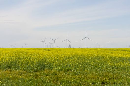 Spring Colza Field Landscape With Windmills