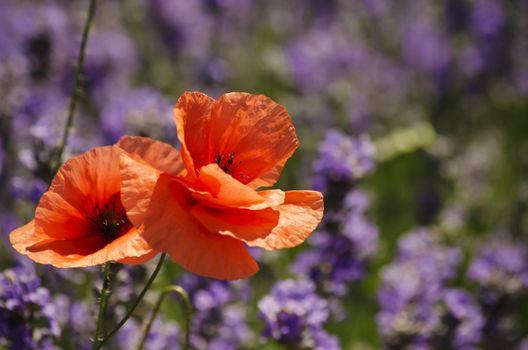 Poppy Flower Over Purple Lavender Background