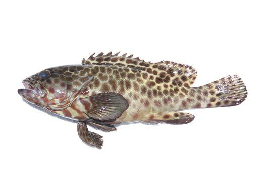 Fresh grouper fish on white background.