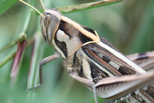 Macro of brown grasshopper perched on leaf in the garden.