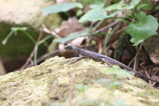 chameleon on stone in the garden.
