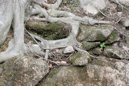 roots of large tree in the forest.