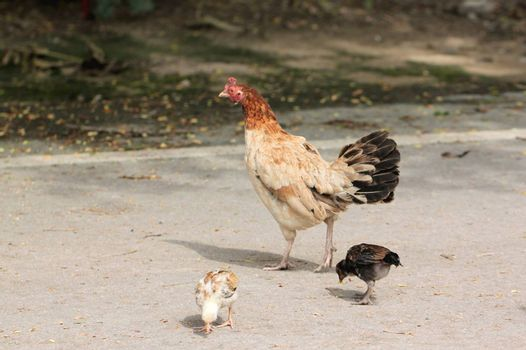 Chickens and chicks were walking in search of food.