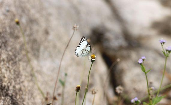 white butterfly on the flower in garden.