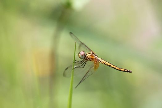 Orange dragonfly on top grass with green background.