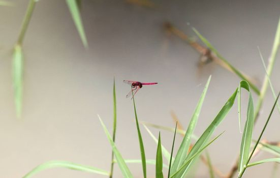 Red dragonfly on green grass with pond background.