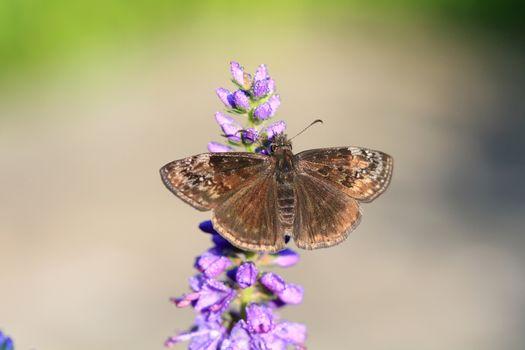 Wild Indigo Duskywing Butterfly