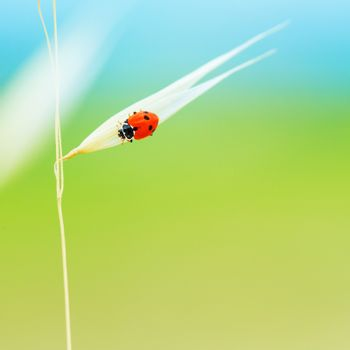 Tiny ladybird on wheat stem