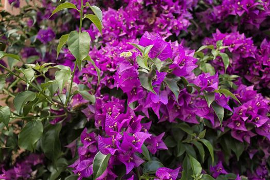 Bougainvillea glabra: glossy, dark green leaves and glorious magenta floral bracts.