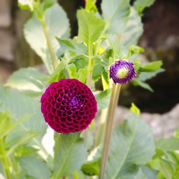 Photo of Bright Color Chrysanthemum Flower in Sunny Day