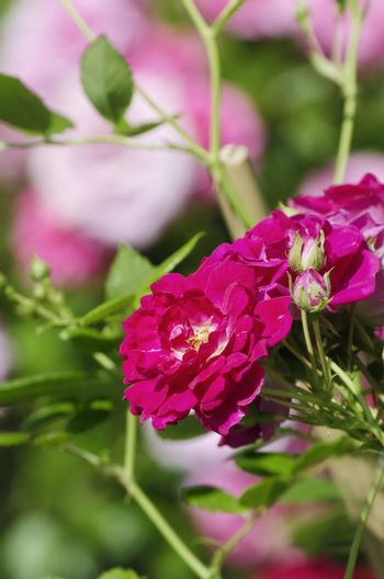 Photo of  Rose Flower Over Natural Background