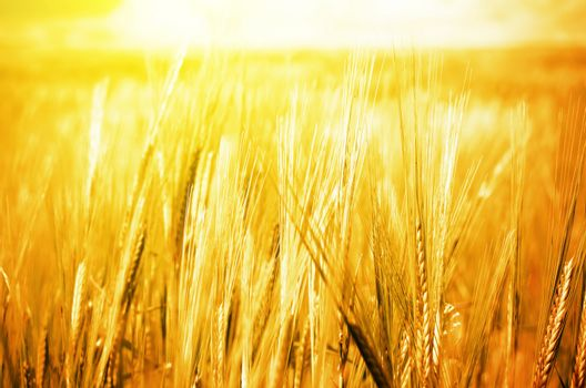 Golden Wheat Background in Summer Time