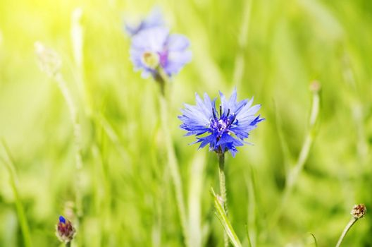 Photo of the Cornflower Blooming in Nature Background