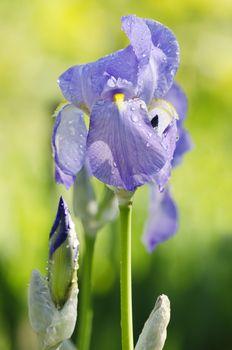 Photo of Spring Bright Iris Flower