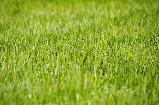 Green Grass Background, Shalow DOF