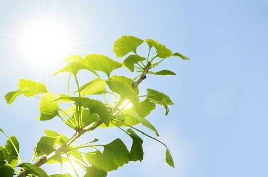 Photo of Ginkgo Biloba Tree Leaves Over Blue Sky, Copyspace