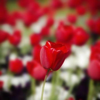 Photo of the Red Tulips Over Natural Background