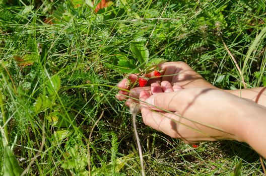 woman girl hands gather pick wild strawberry to palm in forest meadow.