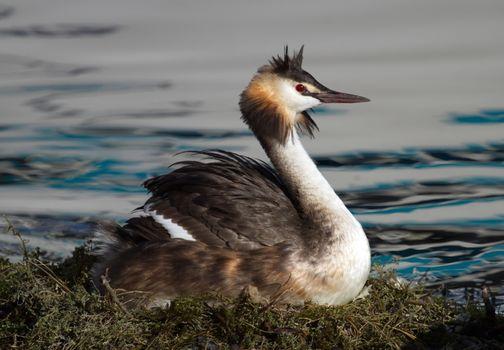 Crested grebe, podiceps cristatus, duck brooding nest