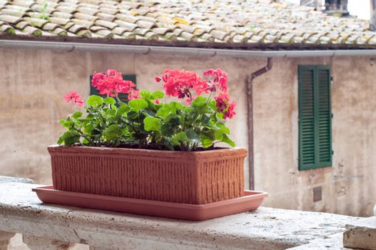 red geranium flowers in pot, at background antique wall, Tuscany