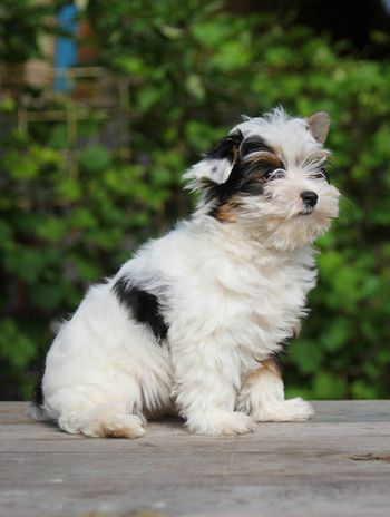 cheerful little tricolor puppy on a background of nature