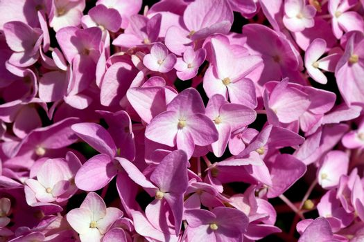 background of flowers of pink hydrangea close up