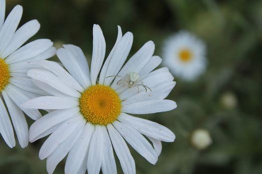 white spider on Camomile